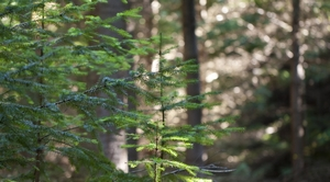 Douglas-fir Seedling