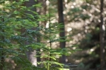 douglas-fir-seedling