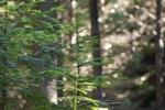 douglas-fir-seedling
