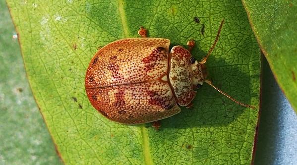 Paropsis charybdis or eucalyptus tortoise leaf beetle.