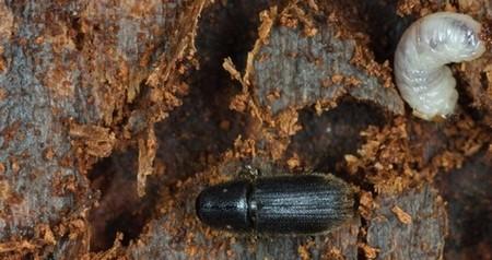 gwa-beetle