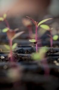 euc seedlings