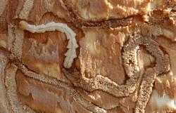 Borer larva