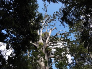 Kauri dieback disease will potentially wipe out whole populations of kauri.