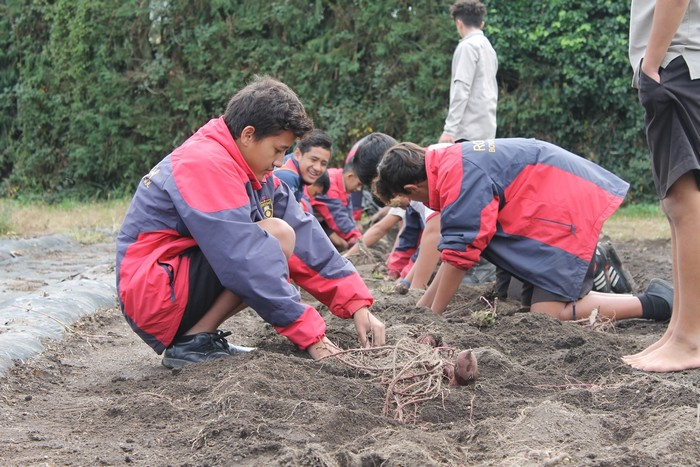 boys high students kumara planting