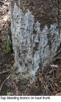Sap bleeding lesions on kauri trunk.