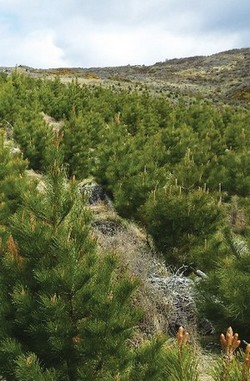hybrid pines trial plot