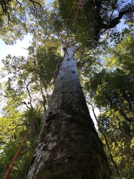 Climber_in_TeRarawa_kauri